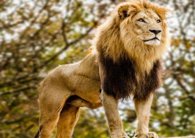 أجمل صور أسد في العالم Most beautiful Lion Pictures