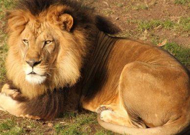 أحلى صور الأسد ملك الغابة Lion Photos