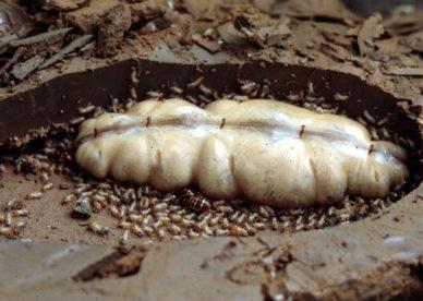صور ملكة النمل الأبيض داخل المستعمرة White Queen Ant Pictures -عالم الصور