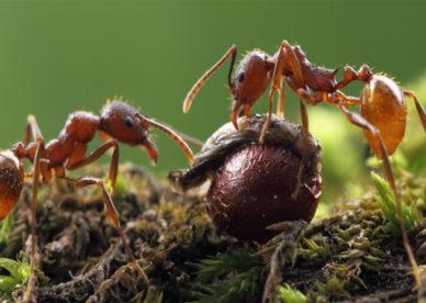 بالصور نمل أحمر يتغذى على الحشرات -عالم الصور
