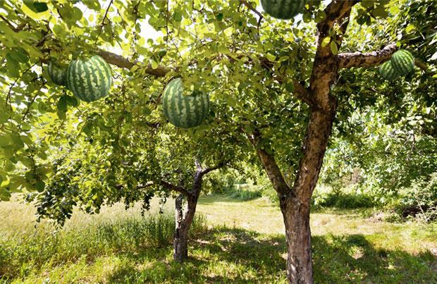أروع صور شجرة فاكهه البطيخ -عالم الصور