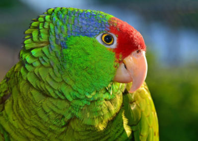 صور ببغاء الامازون الجميلة الذكية المتكلمة Amazon Parrots-عالم الصور