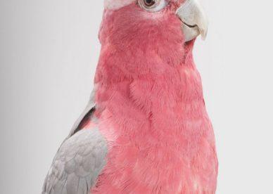 صور عن طيور ببغاء كوكاتو Cockatoo Parrot-عالم الصور