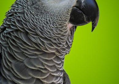 احلى صور الببغاء الافريقي الرمادي Grey African Parrot-عالم الصور