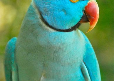 صور اجمل طيور ببغاء الدره المطوقة الهندي المتكلم Indian Ringneck Parrots-عالم الصور