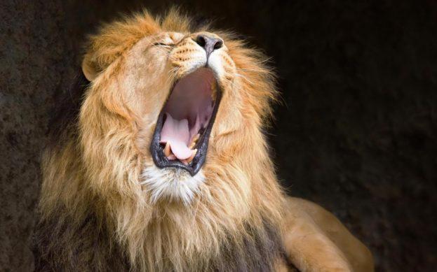 بالصور خلفيات ملك الغابة الاسد اقوى حيوانات البرية يزأر-عالم الصور