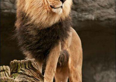 اجمل صور اقوى اسد ملك الغابة في العالم 2018-عالم الصور