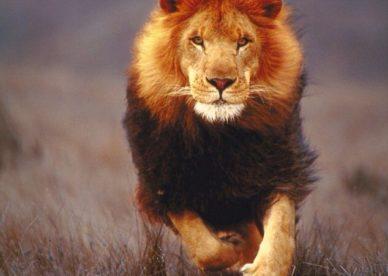 افضل صور الاسد Top Lion Images 2018-عالم الصور