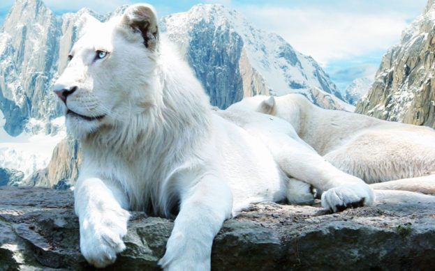أجمل وأروع خلفيات صور حيوان الأسد الابيض White Lion Wallpapers HD-عالم الصور