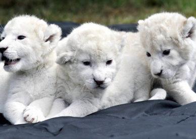 صور صغار الاسد الابيض White Lion Baby-عالم الصور