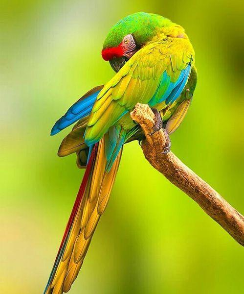 افضل طيور ببغاء في العالم بالصور-عالم الصور