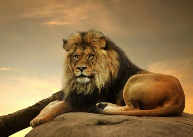 صور الاسد الافريقي African Lion-عالم الصور