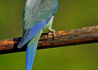 ببغاء براكيت ملونة جميلة -عالم الصور