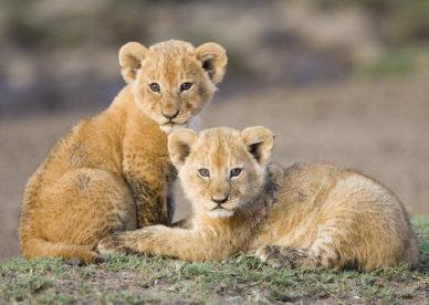 صور اشبال الاسد Cubs lion-عالم الصور